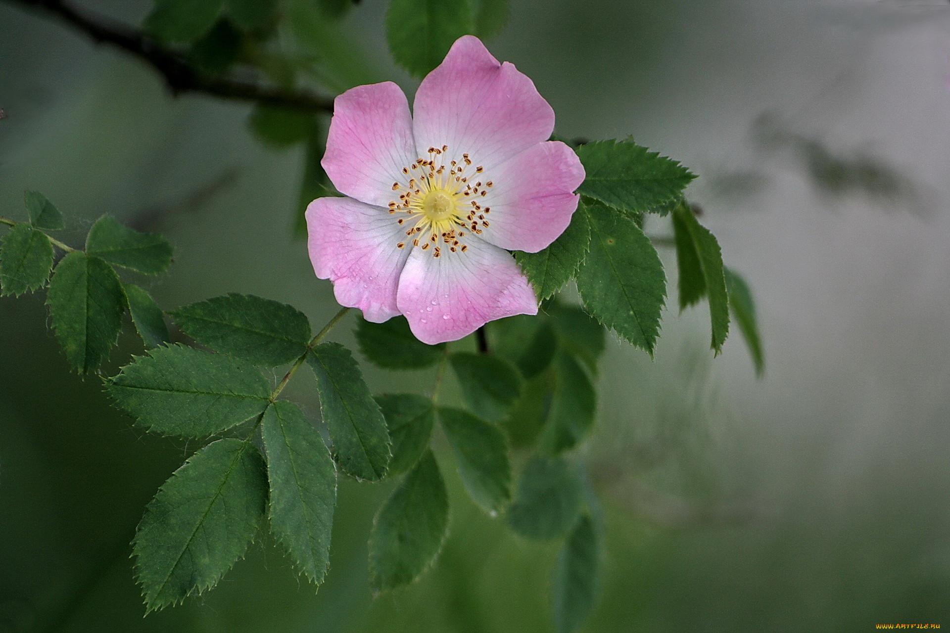 теперь предпримит картинки на аву цветы шиповника принципы